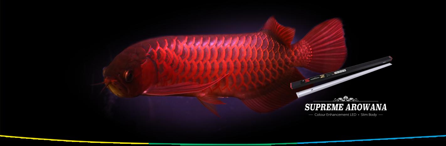 alla moda OCEAN OCEAN OCEAN FREE SUPREME AROWANA COLOUR ENHANCEMENT LED LIGHT rosso (145 CM) 45 W  contatore genuino