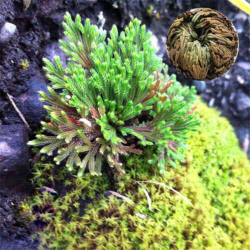 Live Résurrection usine Air Fern Spike Moss Rose De Jericho Dinosaure Plant Hot