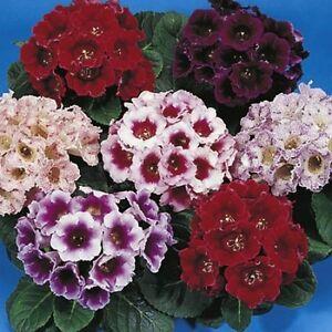 Gloxinia-Seeds-Empress-Mix-FLOWER-SEEDS-25-Pelleted-Seeds
