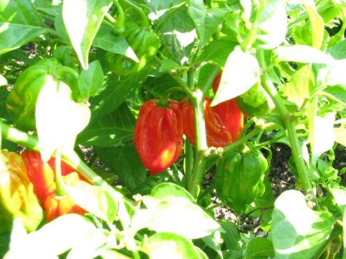Habanero Gambia riesige Habanero rote Chili megascharf /& aromatisch