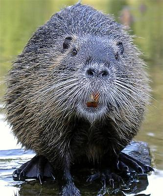 COOL BEAVER GLOSSY POSTER PICTURE PHOTO animal dams angry trees water cute 467
