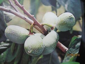 Asimina triloba Prima 1216 - Indianerbanane Prima 1216 Paw Paw