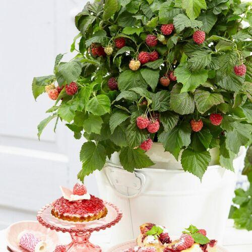 Rubus idæus bonbonberry Yummy in 12cm VASO ripetere fruttificazione Lampone