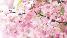 1 Pack 10 Cherry Blossom Seeds Sakura Oriental Cherry S027