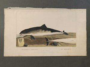 1801-Original-Hand-Colored-Etching-Cuvier-amp-Saint-Hilaire-Dolphin