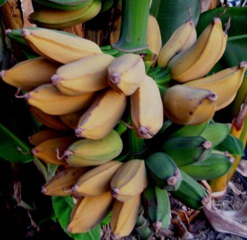 Musa Raja Puri seltene winterharte Fruchtbanane Pflanze RP