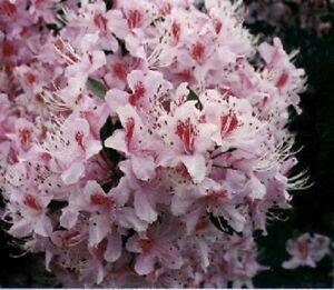 25 rhododendrun rosebay seeds flowers shrubs trees shade image is loading 25 rhododendrun rosebay seeds flowers shrubs trees shade mightylinksfo