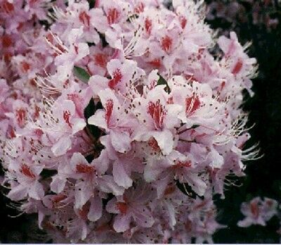 25+ RHODODENDRUN ROSEBAY SEEDS / FLOWERS, SHRUBS, TREES / SHADE LOVING PERENNIAL