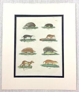 1827-Buffon-Incisione-Madagascar-Rat-Granchio-Eater-Urson-Mano-Colorato-Stampa