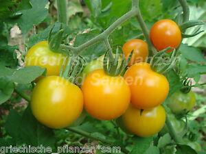 yellow pigmy tomate zimmertomate topf tomate 10 samen tomaten f r balkon ebay. Black Bedroom Furniture Sets. Home Design Ideas