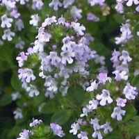 400  LEMON THYME Seeds Heirloom Herbs High Quality Plant Easy Care TT215
