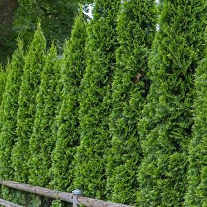 100-Sibirischen-Teppich-Cypress-Smaragdgruen-Lebensbaum-Samen-Blume-Bonsai-F9F2