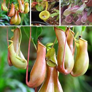 Am-FP-BU-Seeds-Pitcher-Plant-Purpurea-Foliage-Carnivorous-Shades-Flower-Garde