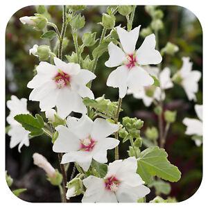 3-Lavatera-clementii-Barnsley-Baby-Plug-Plants-039-Tree-mallow-Hardy-shrub-039