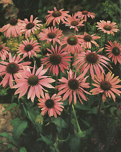 echinacea purpurea sonnenhut 1 wurzelstock staude. Black Bedroom Furniture Sets. Home Design Ideas