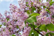 Der Chinesische Blauglockenbaum - eine wahre exotische Pracht in Ihrem Garten !