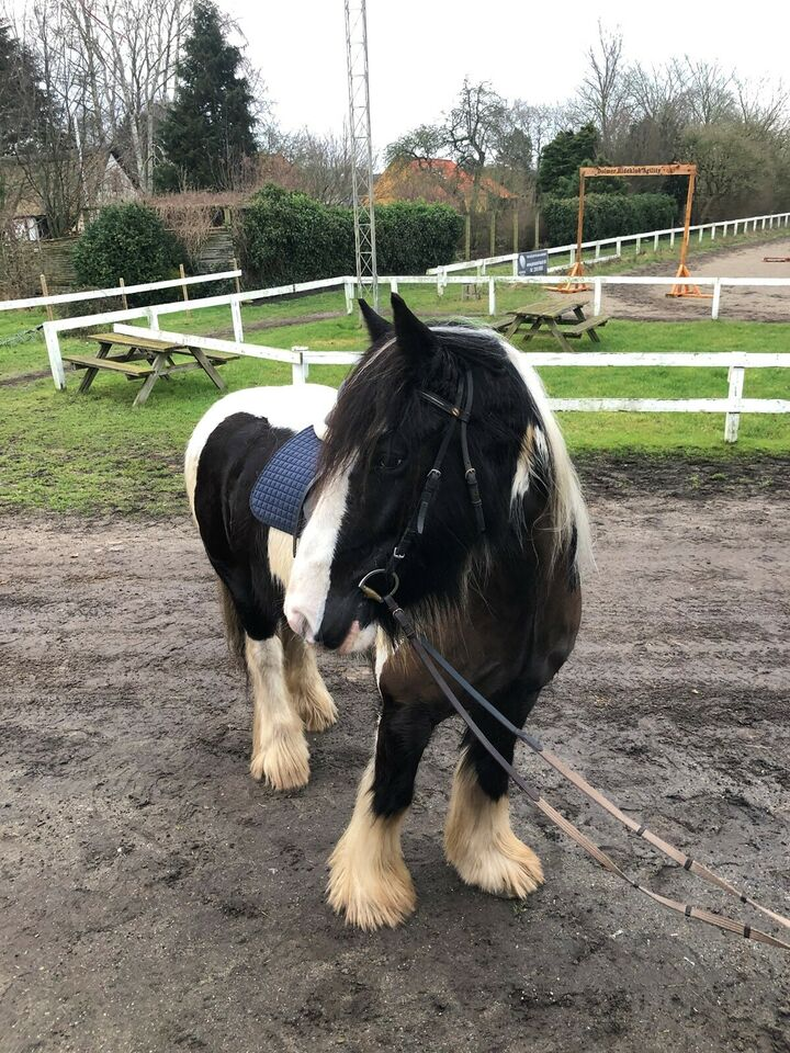 Irish Cob, vallak, 7 år
