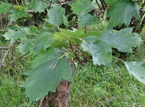 10-Samen-Elsbeere-Sorbus-torminalis-Baum-des-Jahres-2011-sehr-selten-essbar