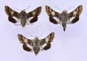 3 x Schinia cognata aus Ungarn