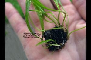 Apo.Natans-for Oscar fish Live plant aquarium moss AY