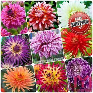 20pcs multi colour dahlia seeds bushy tuberous herbaceous perennial image is loading 20pcs multi colour dahlia seeds bushy tuberous herbaceous mightylinksfo