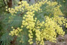 Silver Wattle (Acacia Dealbata ) 30 seeds
