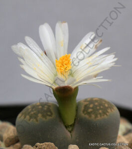 LITHOPS SALICOLA rare exotic living stones ice plant succulent seed 50 seeds