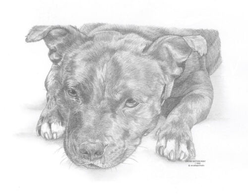STAFFORDSHIRE BULL TERRIER Staffy art drawing print 2x sizes A4//A3// card Avail