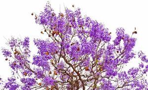 Garten-Pflanzen-Samen-winterharte-Zierpflanze-Saatgut-Baum-Strauch-PALISANDER