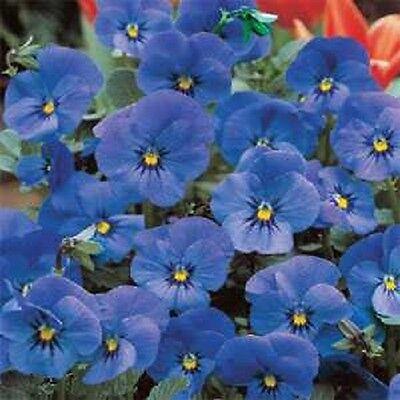 NEW! 30+ VIOLA CORNUTA ADMIRATION BLUE FLOWER SEEDS / SHADE PERENNIAL
