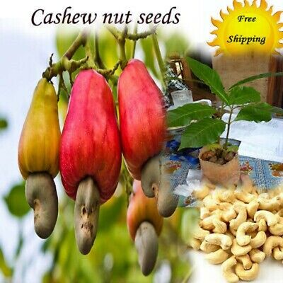 Anacardium Occidentale Tropical Plant Tree Seeds 60 pcs Cashew Nut Seeds