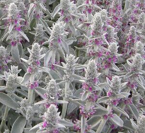 Lambs-Ear-Seeds-100-Seeds-Perennial-Deer-Resistant-Flower