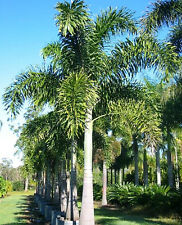 *UNCLE CHAN* 5 SEED WODYETIA BIFURCATA FOXTAIL PALM FRESH READY SOW  VIABLE