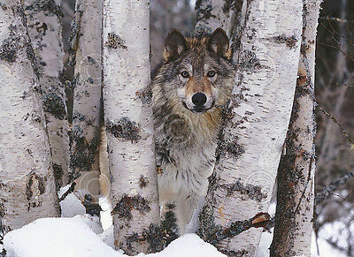 WILDLIFE PHOTO ART PRINT Spring Wolf Pups by Art Wolfe 14x11 Poster