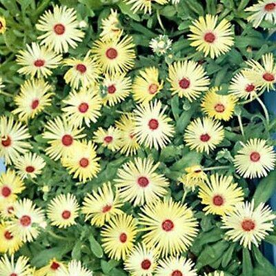 Ice Plant- Livingston Daisy-Yellow-  100 Seeds -    50 % off sale