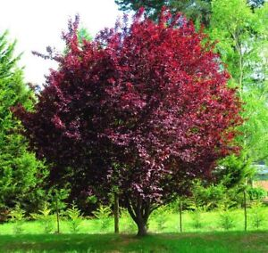 Purple Leaved Cherry Plum Prunus Cerasifera Pissardii 20 Seeds