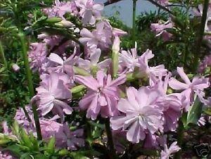 winterharte-Garten-Pflanzen-Samen-exotische-Zierpflanze-selten-SEIFENBLUME
