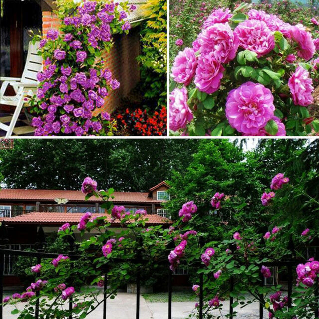 10 Climbing Rose Seeds Pink Red colors Multiflora Perennial Fragrant Flower Red