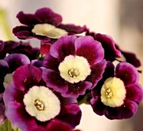 Primrose Perennial Shade 15 Seed PRIMULA Auricula Picotee MULTI COLORED FLOWERS