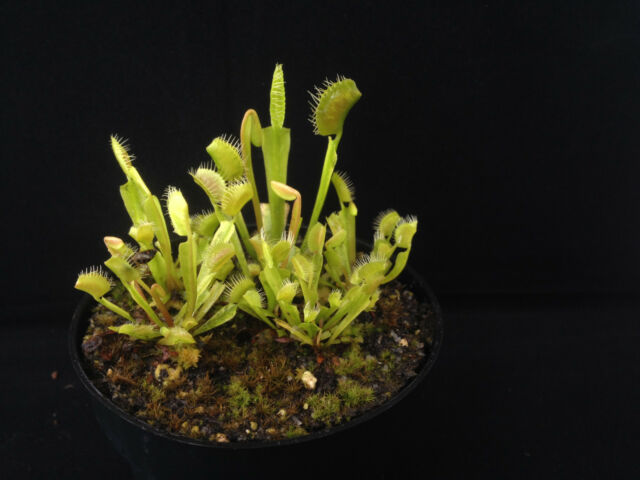 """Dionaea musicpula """"Spider"""" Venusfliegenfalle Größe: M"""