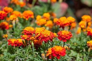 Marigold-French-Sparky-Mix-Non-GMO-Heirloom-Flower-Seeds-Sow-No-GMO-USA