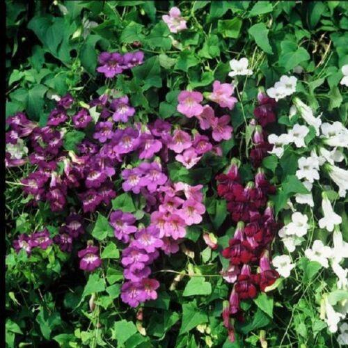 PERENNIAL ASARINA FLOWER SEEDS MIX CLIMBING SNAPDRAGON 20