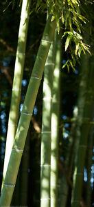 Tuer-Fototapete-Bambus-Wald-Dschungel-Natur-Tuer-Tapete-Tuer-Poster-Bild-Tapete