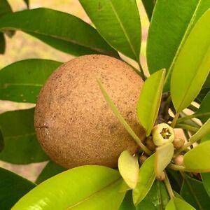 GRAFTED-Tropical-Fruit-Tree-SAPODILLA-Live-Tree-Big-tree-2-3-feets-tall