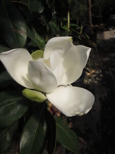 magnolia grandiflora 39 galissoniere 39 magnolie 150cm immergr n frosthart 25 c ebay. Black Bedroom Furniture Sets. Home Design Ideas