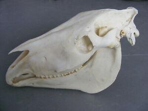 Horse Skull 1 head decor taxidermy hunting art
