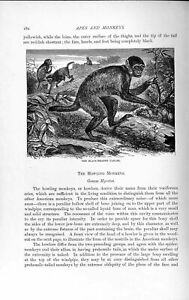 Original Old Antique Print Natural History 1893-94 Black-Headed Uakari Monkey