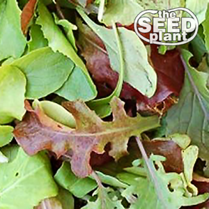 Mesclun Mix Lettuce Seeds 1000 SEEDS SAME DAY SHIPPING