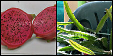 (1) ~CUTTING~ Dragon Fruit ~Red Flesh~ Plant Vine Tree Pitaya Hylocereus