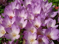 10 AUTUMN CROCUS Colchicum Autumnale Meadow Saffron Flower Seeds *Comb S/H